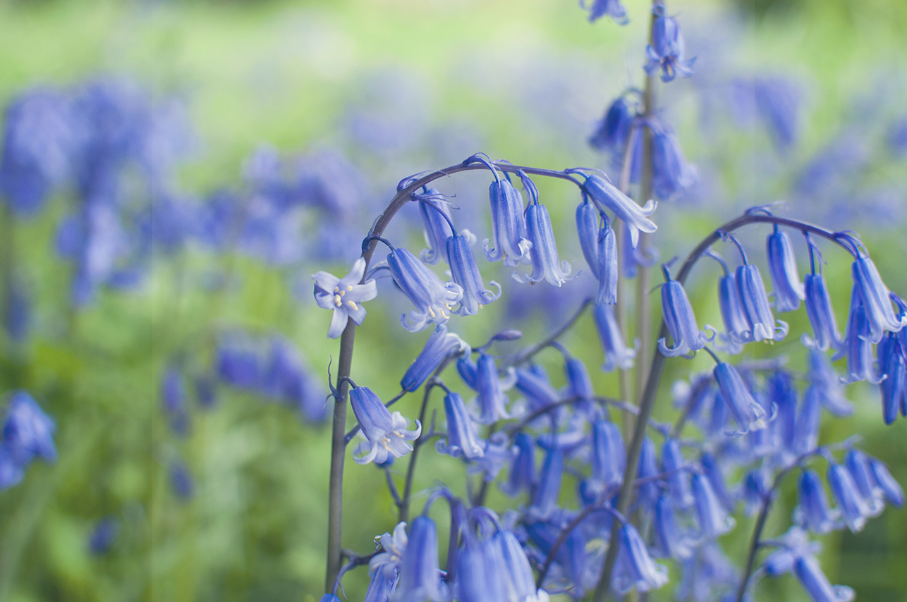 Collette Creative Photography - Collette Dobson, Collette O'Neill - Bluebell Walk at Catle Ward, National Trust, Downpatrick, Northern Ireland